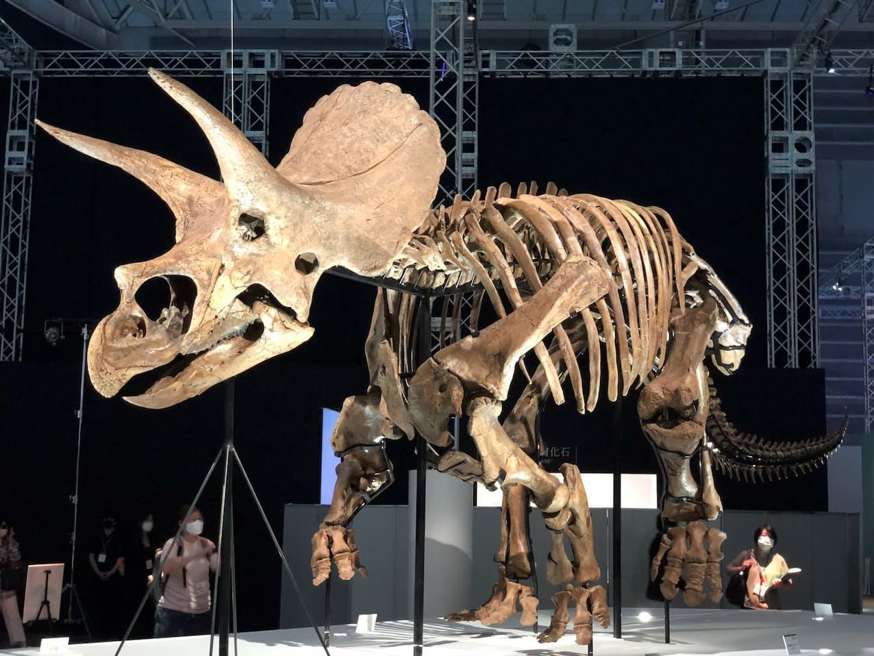 日本で初上陸となる米ヒューストン自然科学博物館で展示されているトリケラトプス「レイン」の実物全身骨格(16日、横浜市)