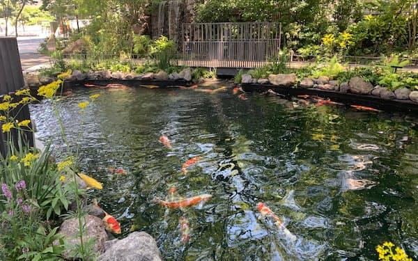 新潟県小千谷市は19日、東京駅近くの大規模複合再開発で整備された池に、ニシキゴイ50匹を放流した