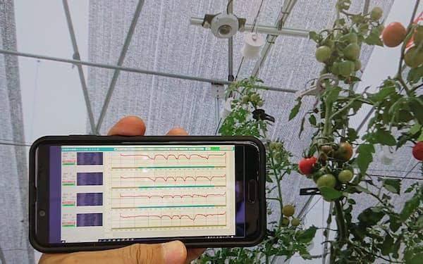 AIが葉のしおれ具合を判断し水やりを調整して糖度を上げる(スマートフォン画面は葉のデータ)