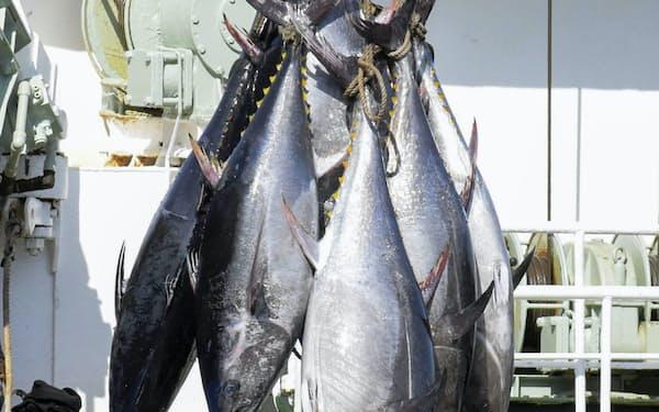 6月に鳥取県の境港で水揚げされたクロマグロ=共同