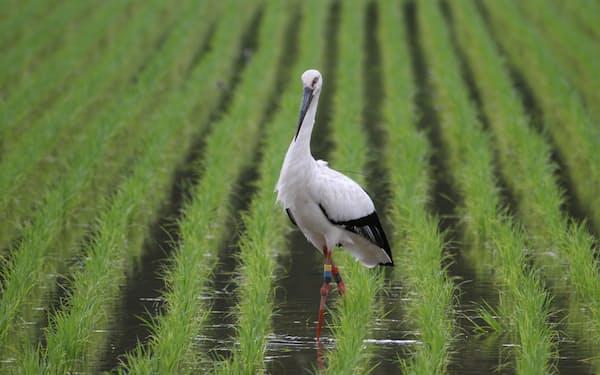 兵庫県豊岡市内の水田に飛来したコウノトリ=豊岡市提供