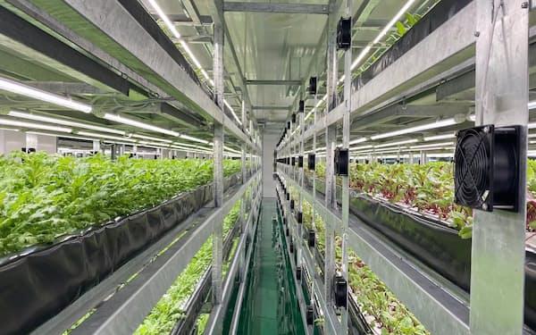広東省の植物工場で葉物野菜を栽培