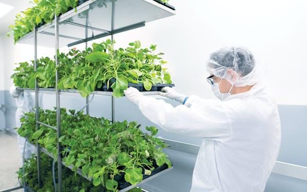メディカゴはタバコ属の植物を使ってワクチンを製造する