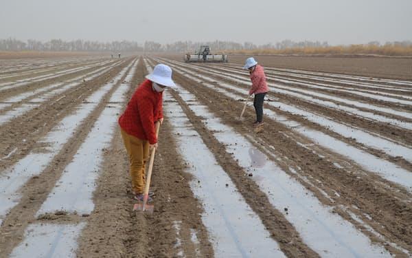 中国・新疆の綿花畑(2021年3月)=ロイター