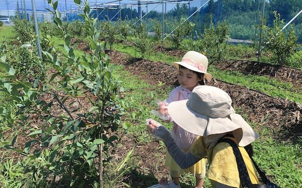 ブルーベリーの摘み取りには家族連れが多く参加した(仙台市)