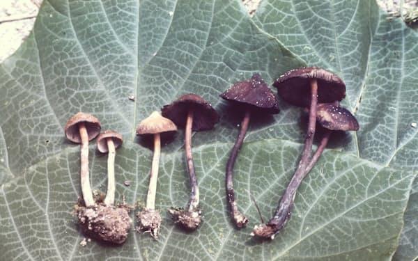 筆者が食べて中毒になり、のちに新種と認められたヒカゲシビレタケ