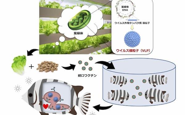 茨城大学農学部などのグループが開発した水産用経口ワクチン植物のイメージ