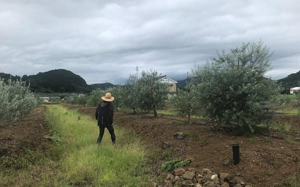 クレアファームが運営するオリーブ畑(静岡県藤枝市)