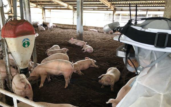 宮崎大は豚にカメラを向けると推定体重をゴーグルに表示するシステムを開発