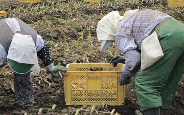 大型機械で収穫するほか、ニンニクの玉を傷つけないように手掘りでも収穫する農家(田子町提供)