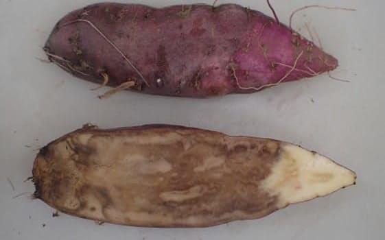 基腐病に感染したサツマイモの断面㊦をみると内部が黒ずんで腐敗している
