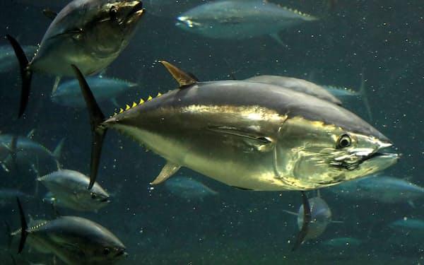 7種のマグロのうち、大西洋クロマグロなど4種の個体数は回復しているという=ロイター