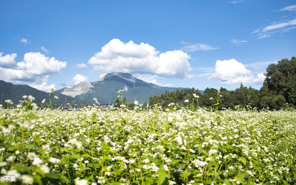 伊吹山を背景に広がる「伊吹そば」の栽培畑