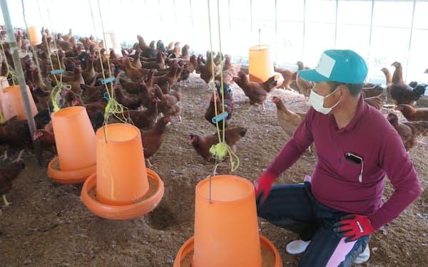 鶏舎で餌をやり、様子を見守る生産者の高橋さん(秋田県大館市)