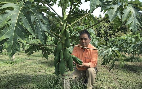みずみずしい青パパイアの収穫を始めたやぎぬま農園の柳沼正一社長(茨城県那珂市)