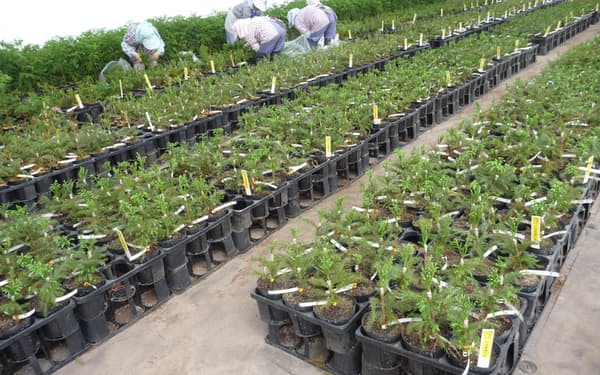 ゲノム編集などの技術で、品種改良にかかる期間を大幅に短縮できると期待されている=森林総合研究所提供