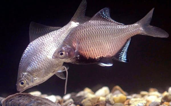 産卵期のイタセンパラ(左がメス、右がオス)=大阪府立環境農林水産総合研究所提供