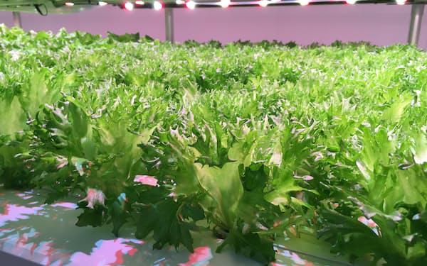 ファムスは実証実験を通じて発芽したリーフレタスの95%を自動で収穫できることを確認した(新潟県見附市)