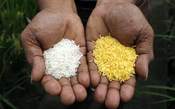 国際稲研究所が開発したゴールデンライス(右)(2013年8月、マニラ近郊の同研究所で)=ロイター