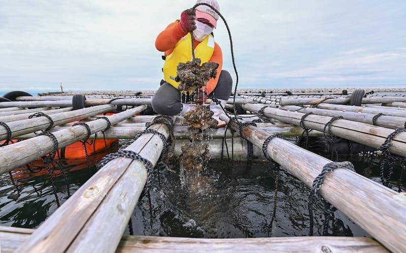 大阪湾の泉州沖で西鳥取漁協の漁師が養殖しているカキ=大岡敦撮影