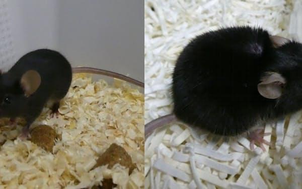 若いマウス(左)と老齢のマウス(右)。老齢の方がリボソームの遺伝子に変異が起きている=東大・小林武彦教授提供