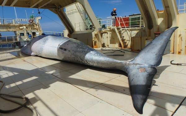 共同船舶の「第三勇新丸」で水揚げされたニタリクジラ