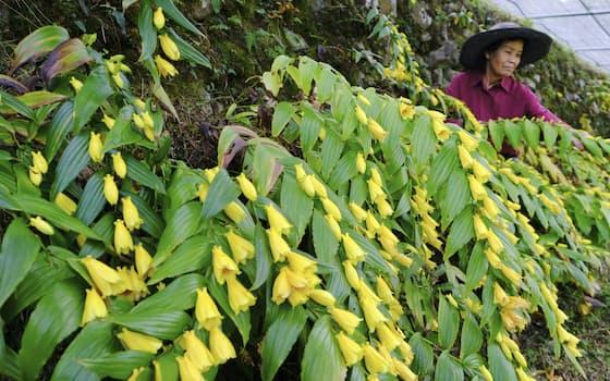 紀伊半島の南部にだけ咲くとされる「キイジョウロウホトトギス」が満開の季節を迎えた。「ジョウロウ」は貴婦人の意味もある(8日、和歌山県すさみ町)=共同