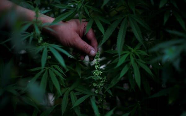 中南米で大麻を合法化する動きが広がっている(2020年9月、メキシコシティ)=ロイター