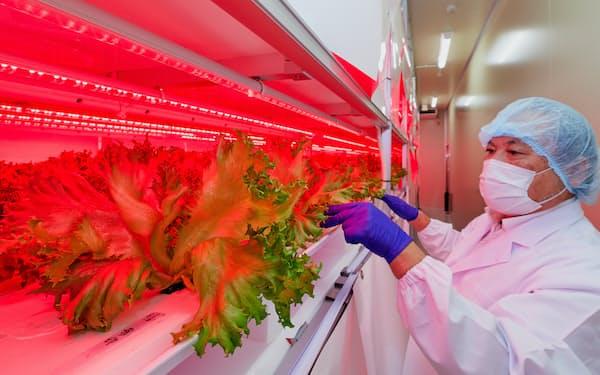 植物工場でフリルレタスなどを同一価格で安定出荷し、新たな需要開拓を目指す(岩手県奥州市)