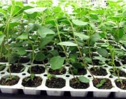培養から育てた甘草の苗