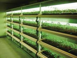 人工光で苗を育てる植物工場の苗テラス