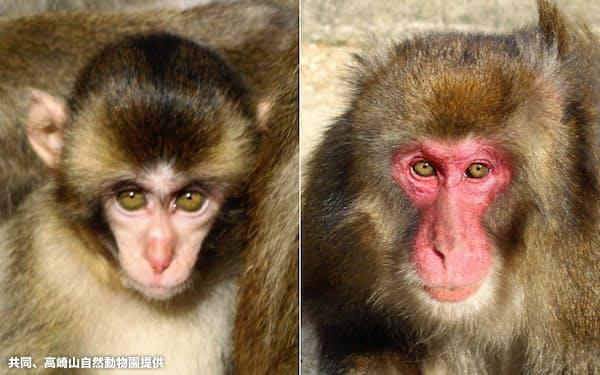 大分市の高崎山自然動物園の「選抜総選挙」雌部門で優勝したピコ(左)と雄部門で優勝したブラック(同園提供)=共同
