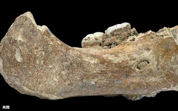 中国・甘粛省の洞窟で見つかった、デニソワ人のものとされる下顎の化石(研究チーム提供)=共同