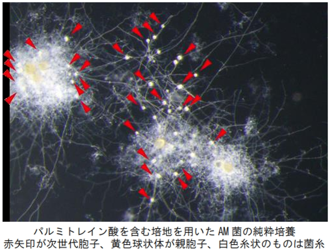 大阪府立大・基礎生物学研究所など、アーバスキュラー菌根菌の純粋培養 ...