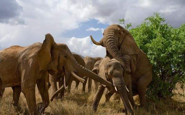 小さなメスと交尾しようとするオスを、ほかのメスが妨害する。ケニアのサンブル国立保護区にて(PHOTOGRAPH BY MICHAEL NICHOLS, NAT GEO IMAGE COLLECTION)