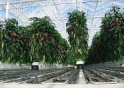 東急建設は、パプリカ生産・販売の農業生産法人リッチフィールド(神奈川県藤沢市)と組み、植物工場ビジネスに参入した。写真はパプリカの栽培イメージ(写真:リッチフィールド)