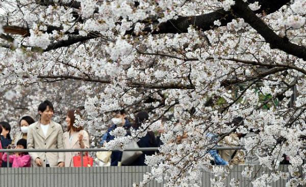 桜 前線 2020 満開
