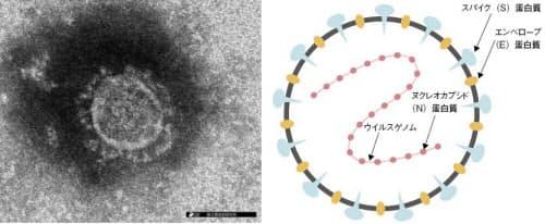 左は新型コロナウイルスの電子顕微鏡像(提供:国立感染症研究所)、右は模式図。ウイルス表面の突起状のS蛋白質が特徴的だ