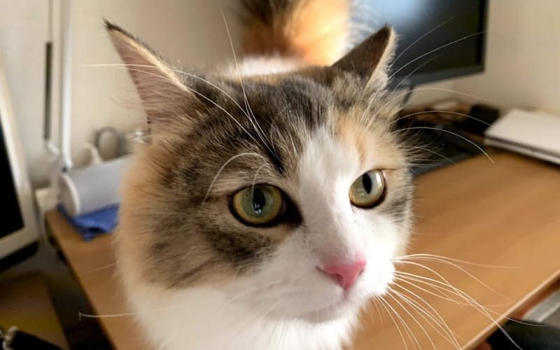 大阪府在住の女性(24歳)が飼育するノルウェージャンフォレストキャットのすももちゃん
