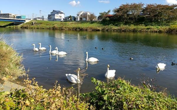 冬になると田沢廉さんの故郷を流れる新井田川に白鳥が飛来する(2020年10月、青森県八戸市)=上田亮子さん撮影
