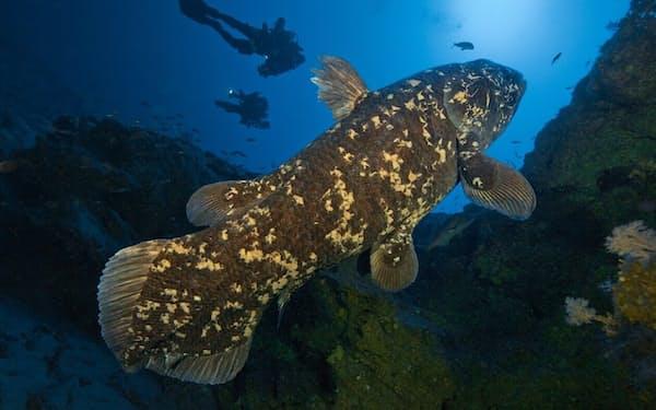 南アフリカのソドワナ湾で泳ぐシーラカンス。長い間、絶滅したと思われていたが、1938年に再発見された(PHOTOGRAPH BY LAURENT BALLESTA, NAT GEO IMAGE COLLECTION)