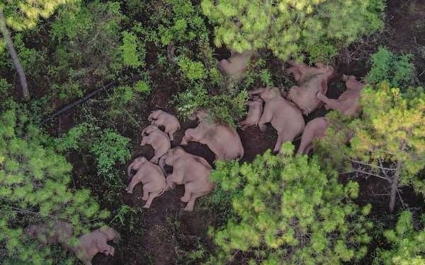 2021年6月13日、中国南西部玉渓市の郊外で昼寝する野生のゾウの群れ。15頭のゾウたちは、1年前に生息地の自然保護区を離れ、これまでに約500キロ移動した(PHOTOGRAPH BYXINHUA XINHUA, REDUX)