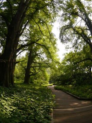 新宿御苑に並ぶ落羽松の大木。湿地などに生育するスギ科の針葉樹で、明治時代に植えられた。秋になると葉が鳥の羽のように落ちることから名前が付いた