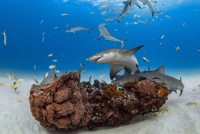 グランド・バハマ島沖のサンゴに群がるレモンザメ。レモンザメには社交的な個体やつきあいの悪い個体がいることがわかっている(PHOTOGRAPH BY TANYA HOUPPERMANS)