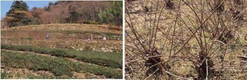 [左]茶畑の上に見えてきたコウゾ畑で収穫が進む [右]コウゾの株からたくさんの茎が伸びている