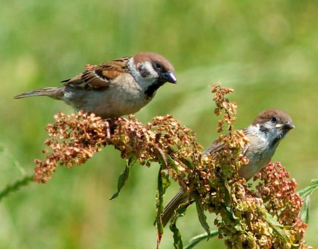 スピリチュアル 雀の鳴き声 ウグイスの鳴き声は縁起が良い?スピリチュアルな意味や特徴も