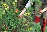 トマトは簡単に育ち、料理やスープでよく使われる(写真:Chris Price/iStockphoto.com)