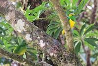アオボウシミドリフウキンチョウ(スズメ目:アトリ科)のオス(右)とメス(左下)。撮影地:モンテベルデ、コスタリカ