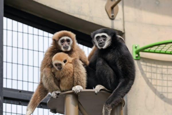 シロテテナガザルの一家。黒い毛が父のテルテル(右)、母のモンロー(左)にしがみついているのがこだま(撮影・桜井省司、提供・株式会社LEGiON)