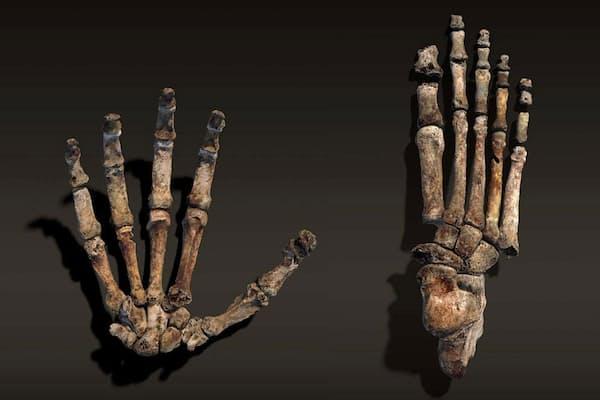 ホモ・ナレディの曲がった指(左)は、類人猿のような木登りの巧みさを示唆する。一方、長い親指は道具を器用に使えたことを示す。足(右)は現生人類に非常によく似ており、効率よく直立二足歩行できたことが分かる。(Art by Stefan Fichtel. Sources: Lee Berger and Peter Schmid, WITS, John Hawks, University of Wisconsin - Madison)